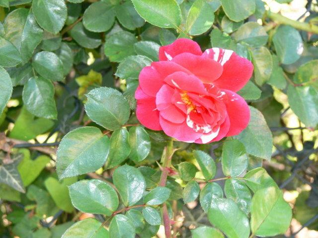 <b>Es el tiempo de la rosa, Romule!</b>