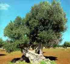 Sagra dell`olivo