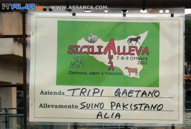 SICILIA ALLEVA  2011 PREPARATIVI  MANIFESTAZIONE