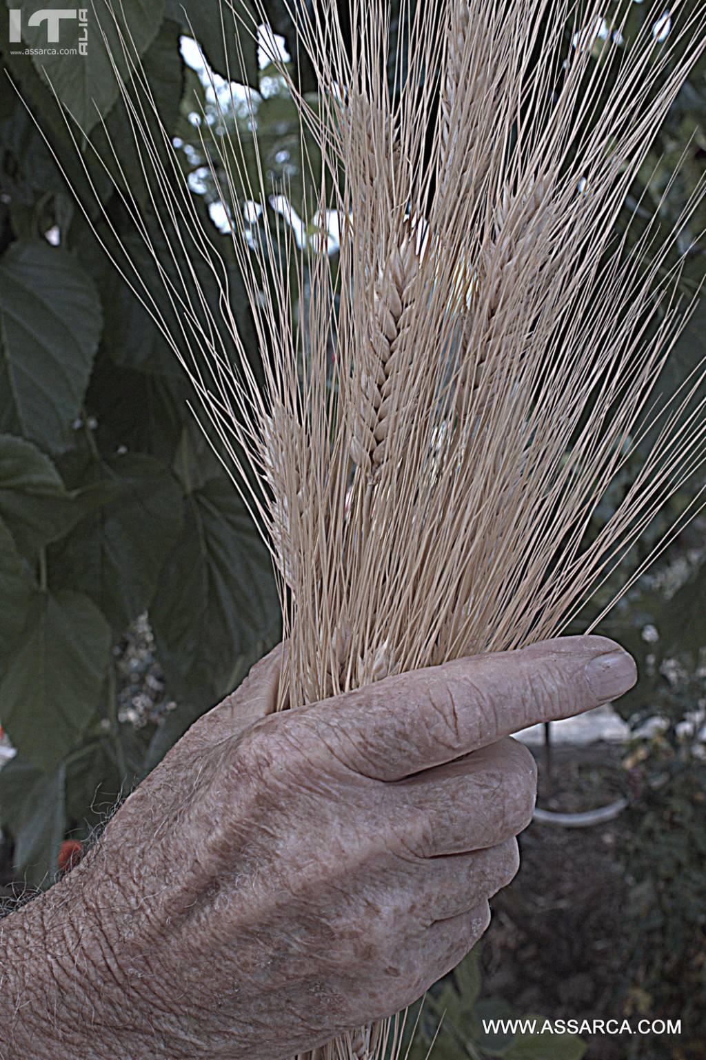 La novellina del grano.