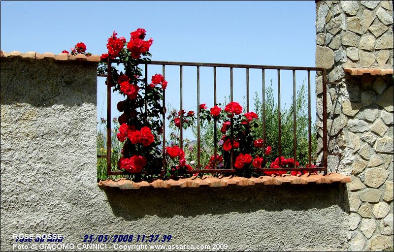 Attractive Rose Rosse