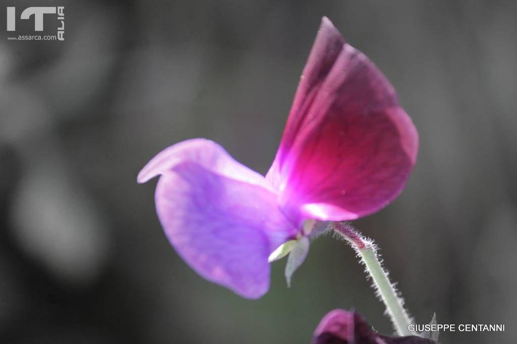 Fiore di campo