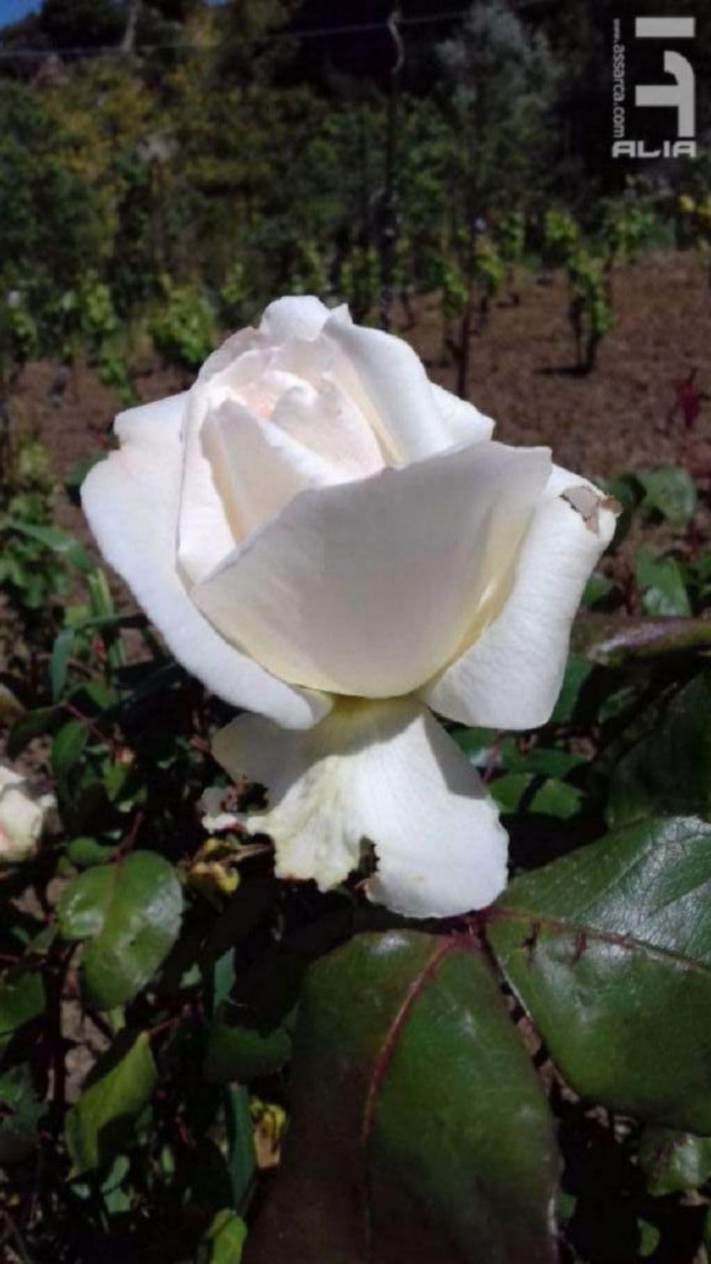 Rosa Mozart