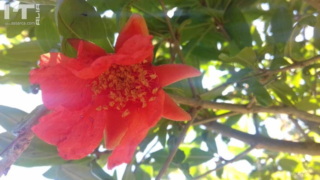 Fiore di melograno.