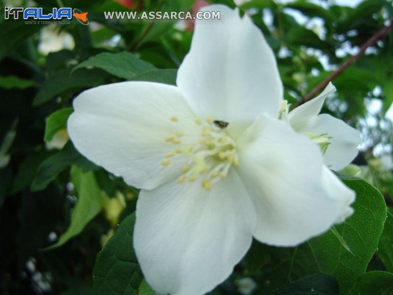 Fiore di Zagara Regina