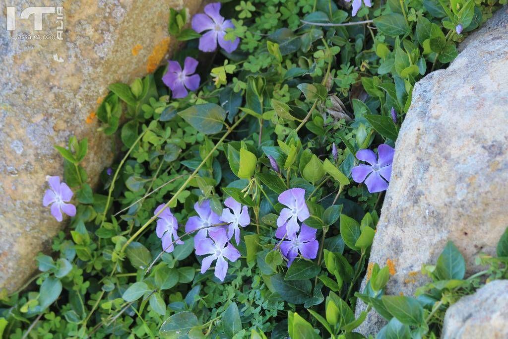 Stupende viole