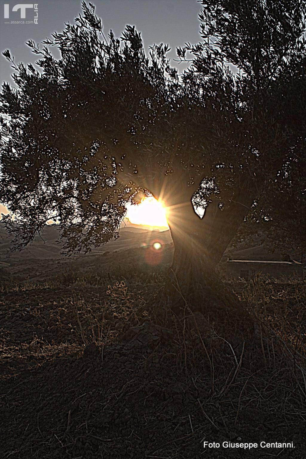 L`ulivo pianta secolare.