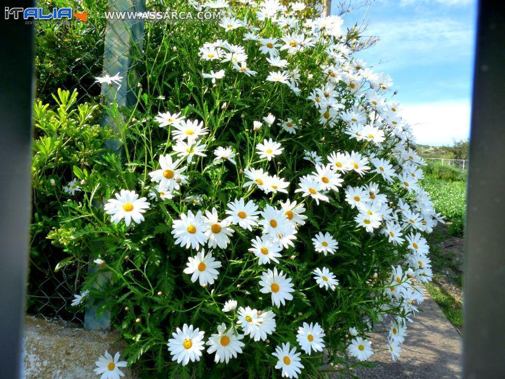 Margherite a cespuglio natura piante ed animali for Margherita pianta