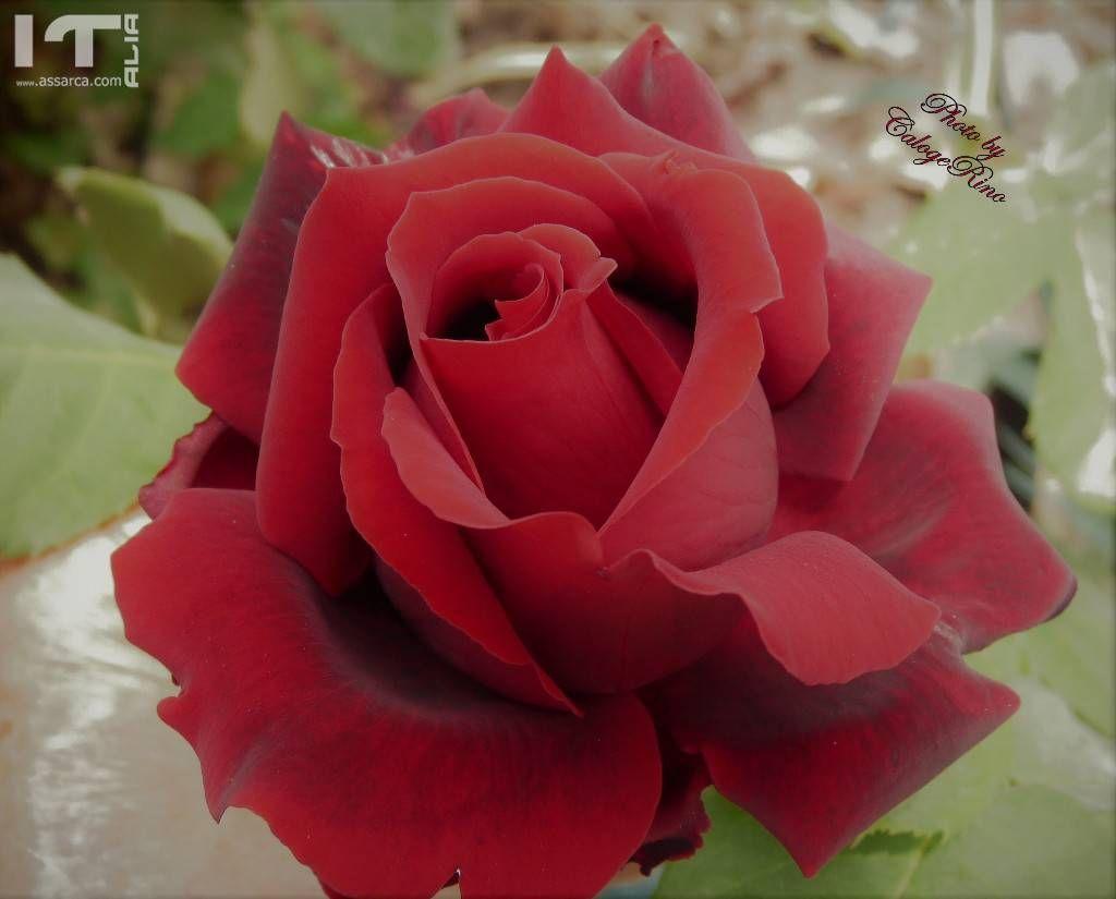 Rosa di Giugno