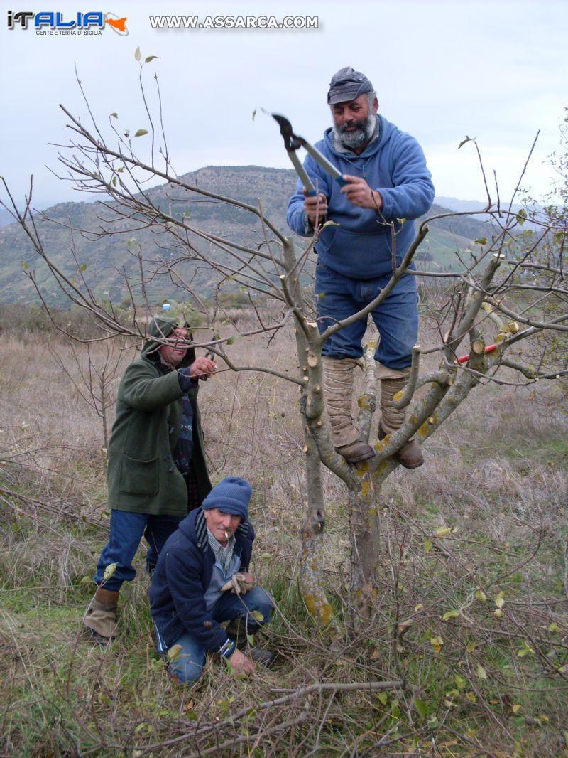 Potatura alberi da frutto volti di sicilia for Potatura alberi da frutto