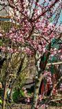 Fiori rosa fiori di pesco...........