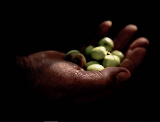 Olio biologico siciliano, l`oro di Sicilia