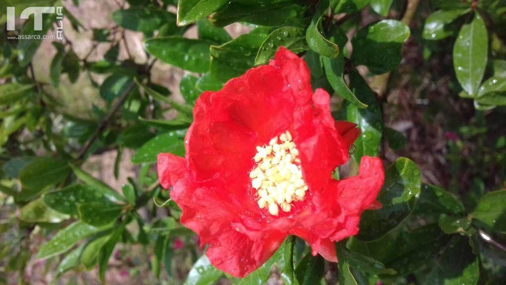 Fiore di granato.