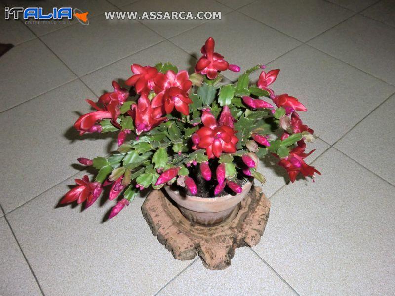 pianta grassa in fiore