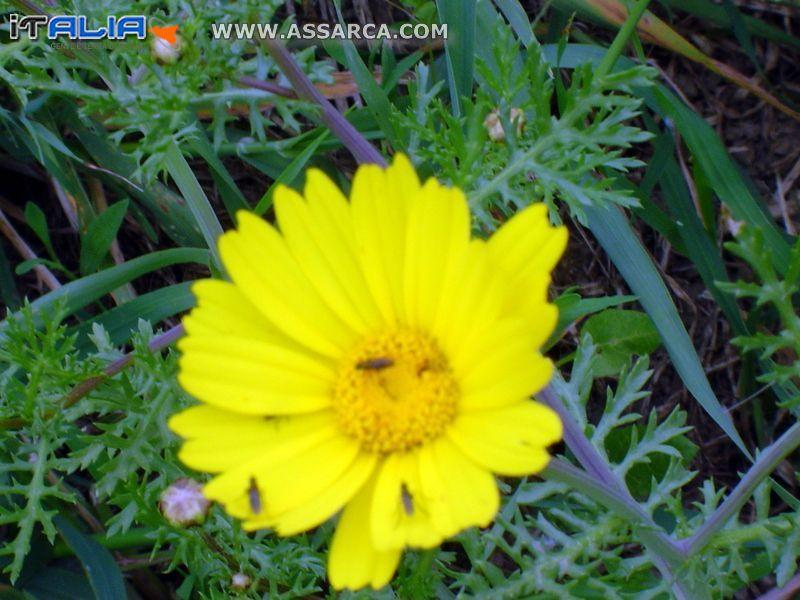 Margherita gialla con insetti: due di sesso femminile ed uno maschile