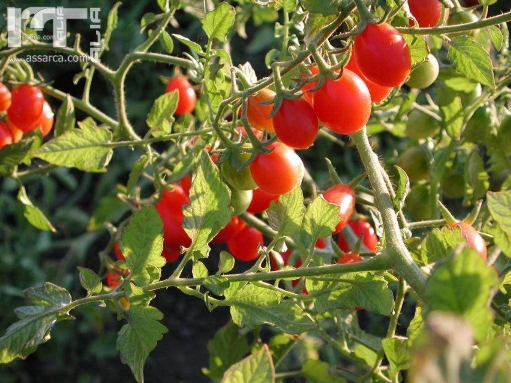 pianta di pomodoro anno 2011