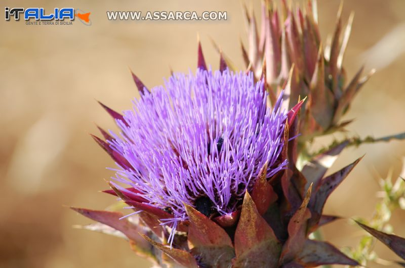 fiore di carciofo