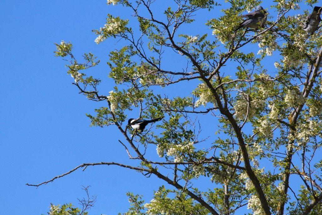 Gazza sull`albero