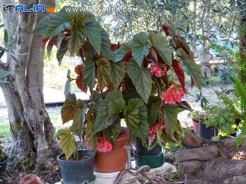 Una rigogliosa pianta di begonia