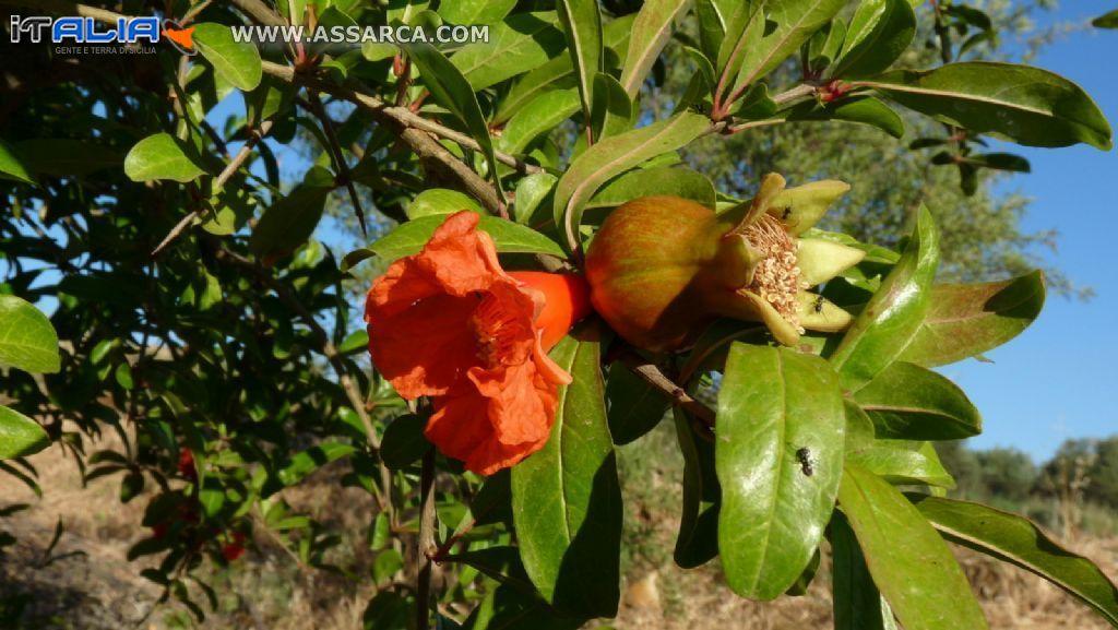 Melograno - fiore e frutto