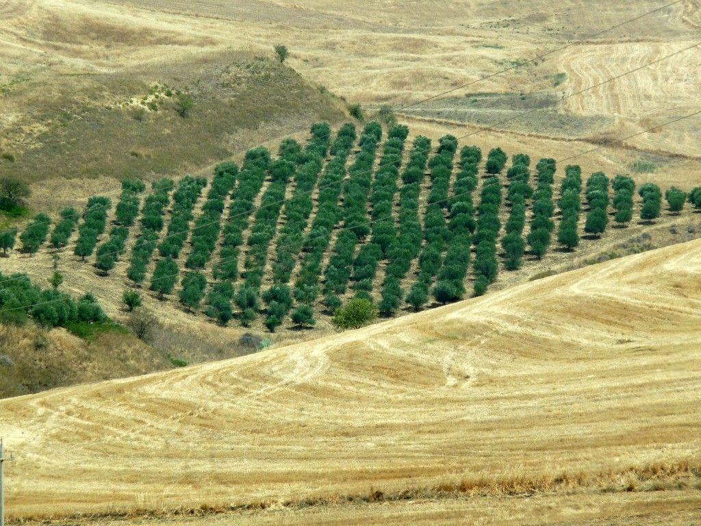Piantagione di Ulivi.